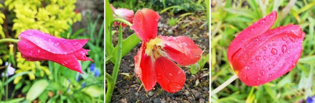 Rain-soaked_tulips_growing_horizontally