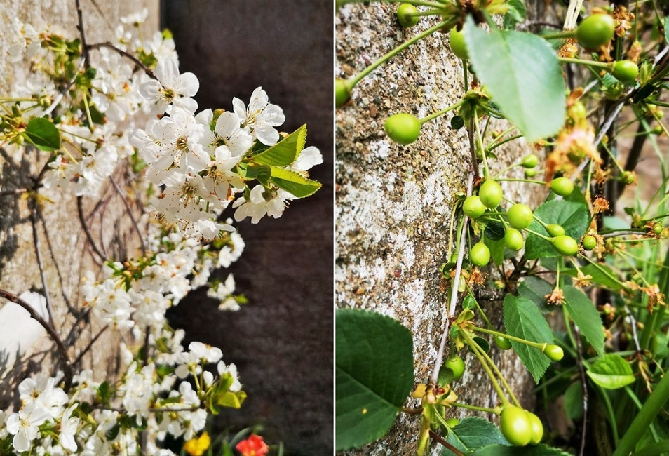 April_Morello_cherry_blossom_and_May_set_fruit