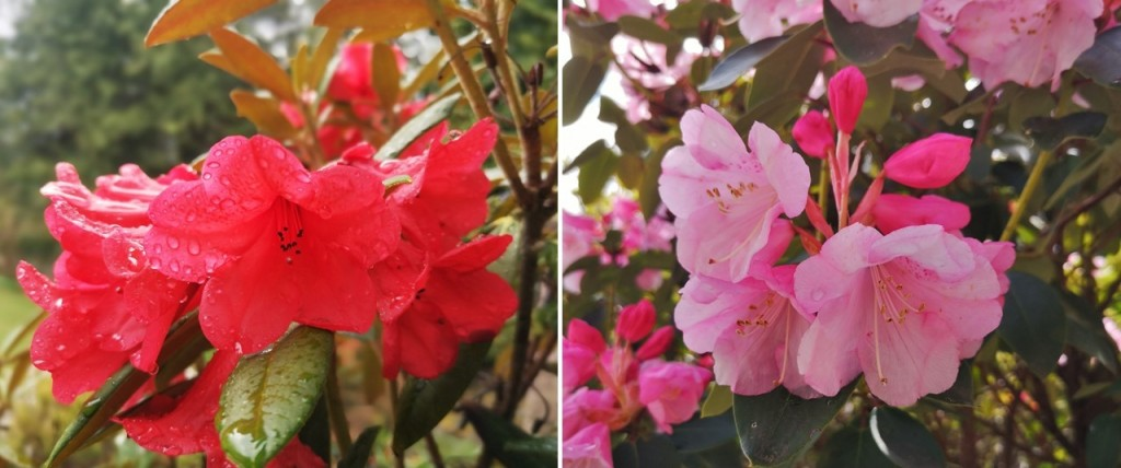 Vivid_red_and_candy_pink_May_flowering_rhododendrons