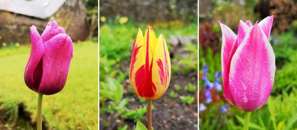 Rain-drops_on_upright_tulips_May_2021