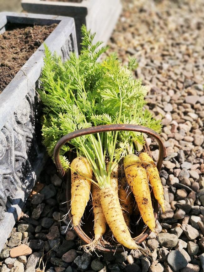 Homegrown_golden_carrots