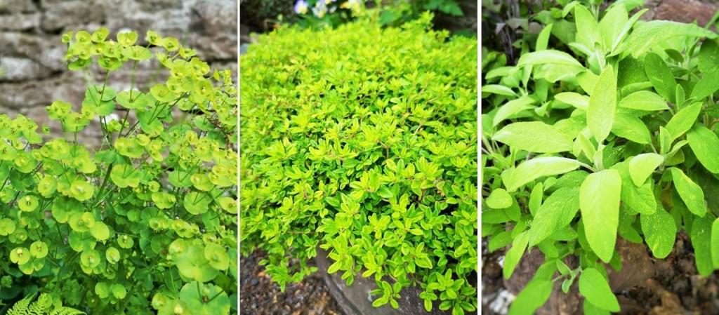 Green_Euphorbia_flowers_lemon_thyme_and_fresh_sage_plants