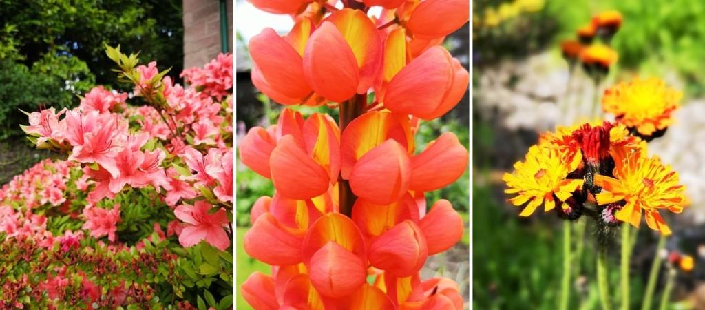 Peachy-red_Azalea_orange-yellow_lupin_and_Pilosella