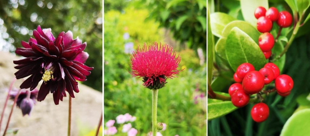 Deep_red_Aquilegia_plume_thistle_and_Skimmia_Japonica_berries