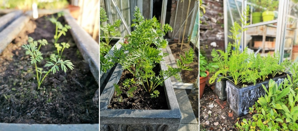 Overwintering_carrots_in_3_stages