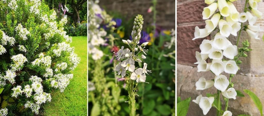 White_hebe_flowers_white_Veronica_and_white_foxglove
