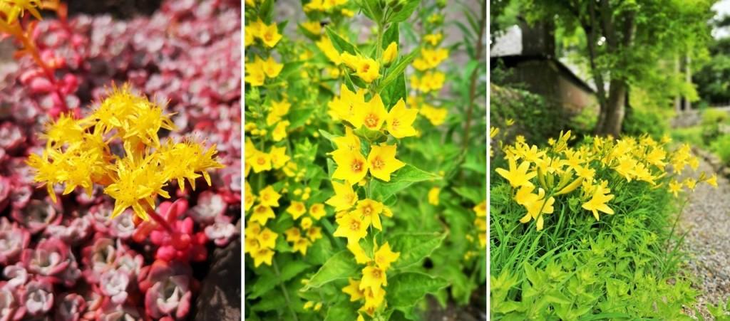 Yellow_flowering_Sedum_Lysimachia_and_Day_Lilies.
