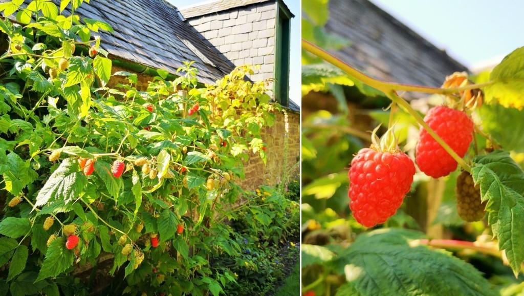 Homegrown_Scottish_raspberries_on_the_bush