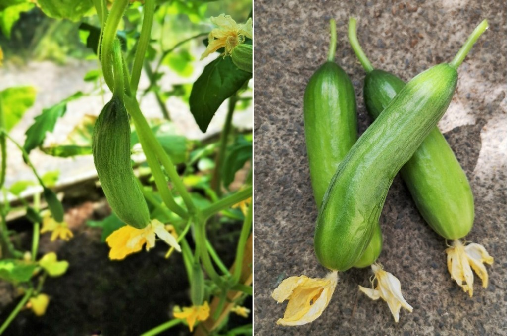 Greenhouse-grown_Mini_Munch_cucumbers