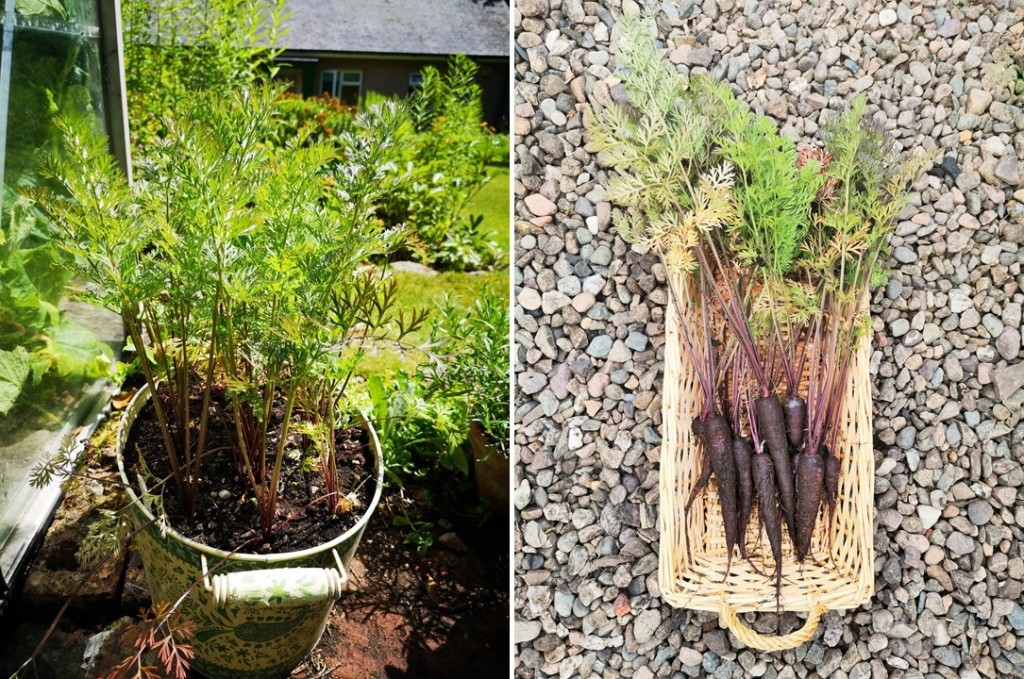 Purple_Sun_carrots_growing_in_a_deep_container