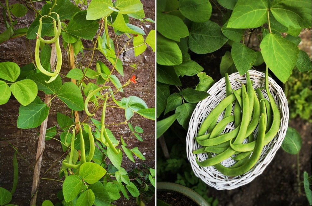Homegrown_Scarloet_Emperor_runner_beans_on_the_vine_and_picked