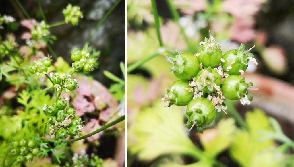Bright_green_coriander_seeds