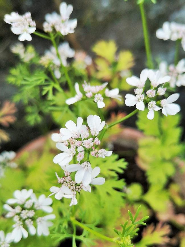 Fresh_coriander_flowers
