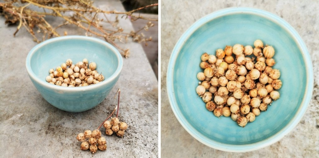 Small_blue_bowl_of_freshly_picked_coriander_seed