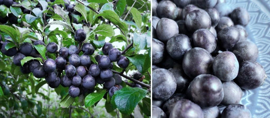 Sloe_berries_ripe_and_ready